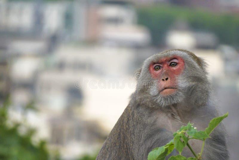 Formosischer Makaken in den Bergen von Kaohsiungs-Stadt, Taiwan, auch genannt Macacacyclopis lizenzfreie stockbilder