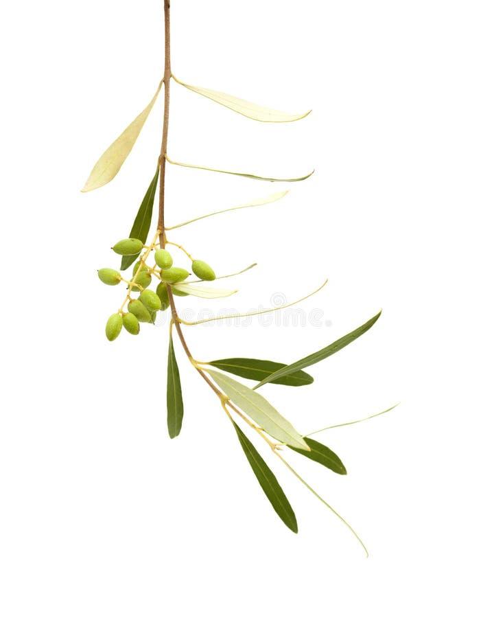 Formung der Frucht von Olea cerasiformis stockfotos