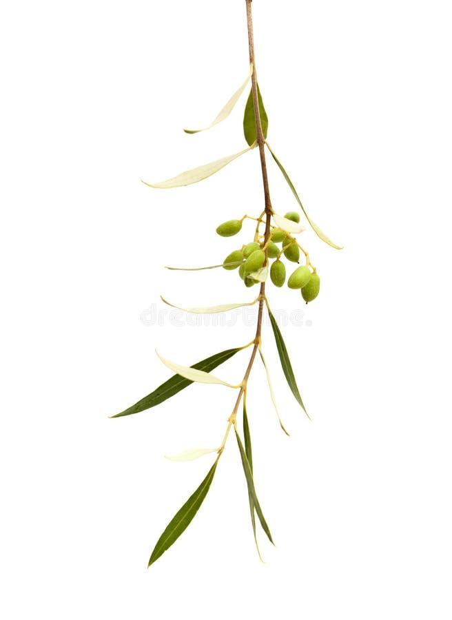 Formung der Frucht von Olea cerasiformis stockfotografie
