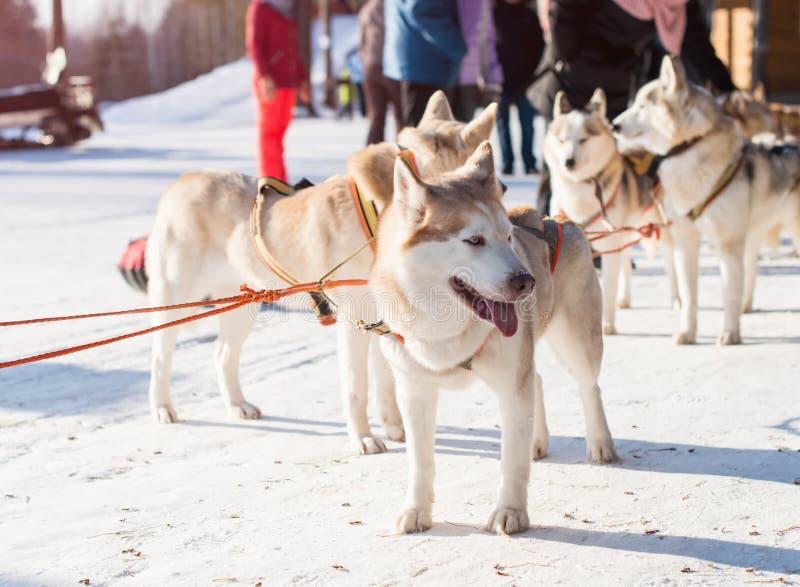 Fornido Trineo del perro imagen de archivo