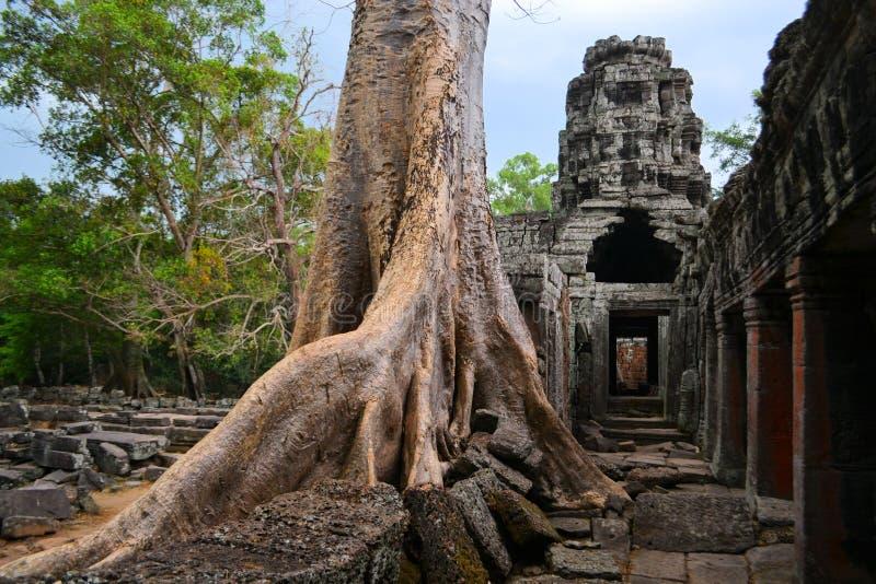 Forntida Angkor eratempel som är bevuxen vid träd royaltyfri foto