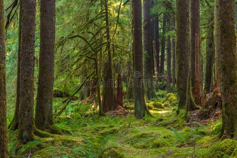 Forntida dungenaturslinga i den olympiska nationalparken, Washington, Förenta staterna royaltyfri fotografi