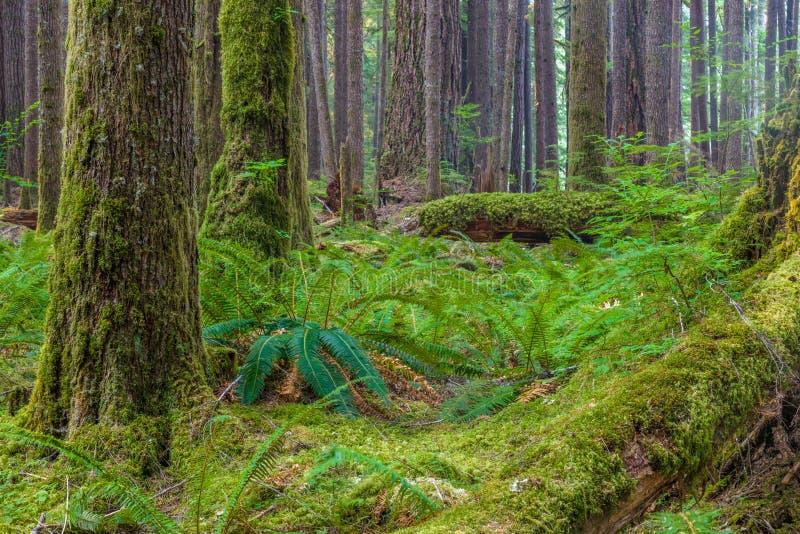 Forntida dungenaturslinga i den olympiska nationalparken, Washington, Förenta staterna arkivfoto
