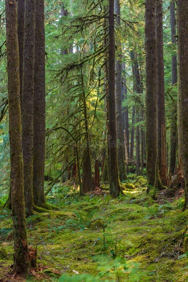 Forntida dungenaturslinga i den olympiska nationalparken, Washington, Förenta staterna royaltyfri foto