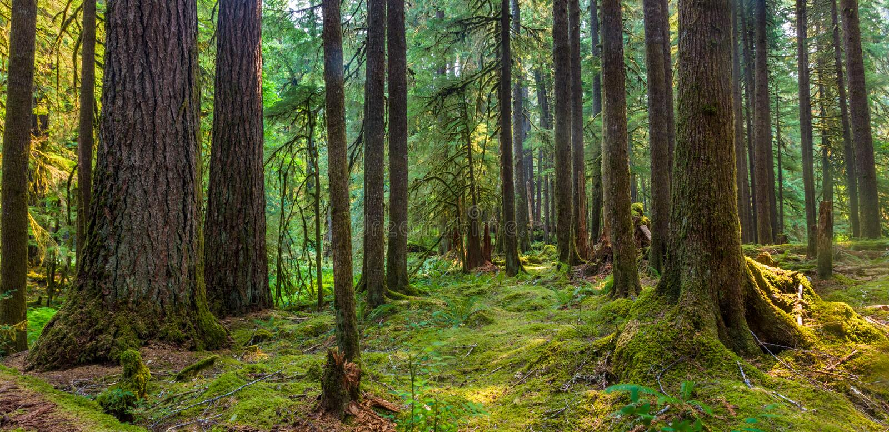 Forntida dungenaturslinga i den olympiska nationalparken, Washington, Förenta staterna royaltyfri bild