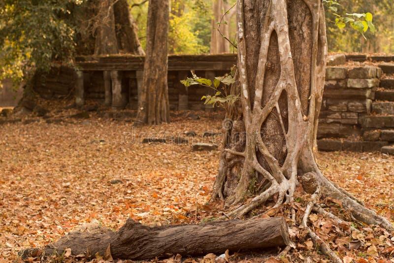 Forntida fördärvar och ett gammalt träd i Angkor Thom, Cambodja arkivfoton