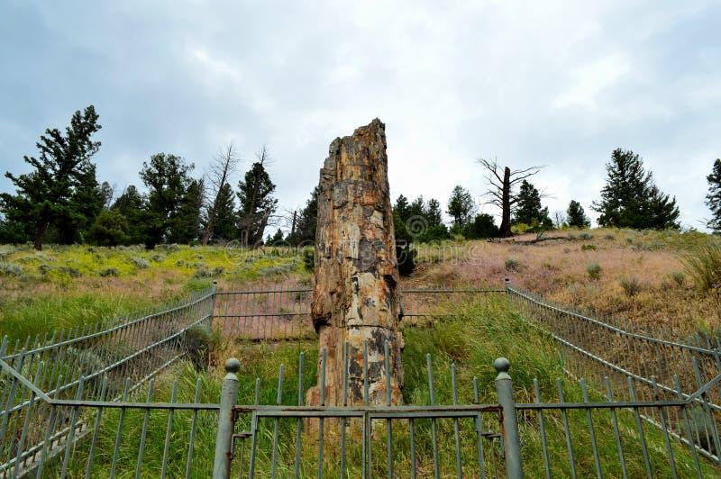 Forntida fossiliserat träd arkivbilder