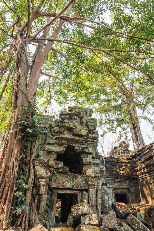 Forntida galleri av att förbluffa templet för Ta som Prohm är bevuxen med träd Mystiskt fördärvar av Ta Prohm som kura ihop sig b royaltyfria foton