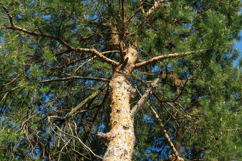Forntida gammalt träd royaltyfri fotografi