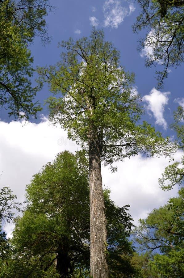 Forntida högväxt cypressträd royaltyfria bilder