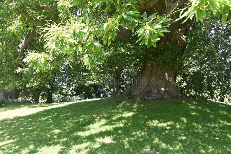 Forntida kastanjebruna träd går i Petworth parkerar, västra Sussex, England, den sativa söta castaneaen för det kastanjebruna trä royaltyfri fotografi