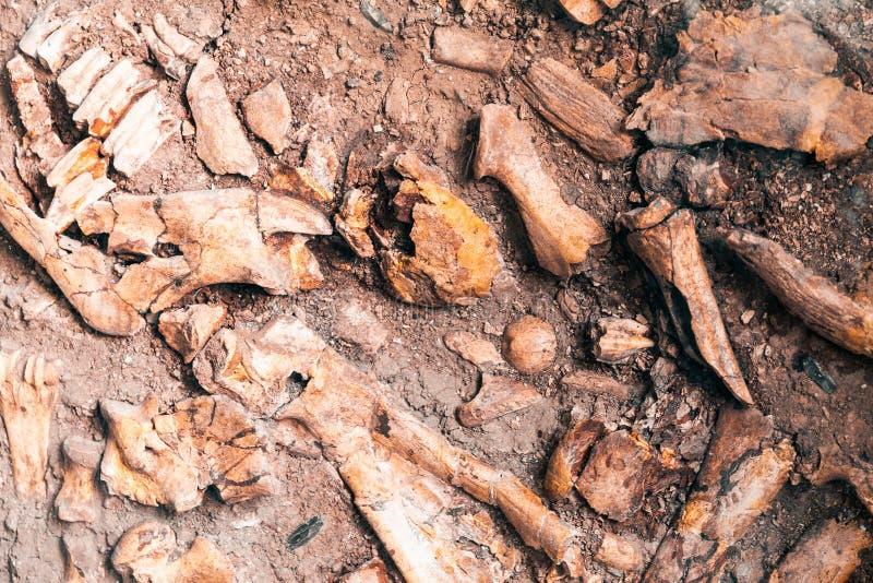 Forntida mänskligt ben i jordning, pikjordfästning royaltyfri bild