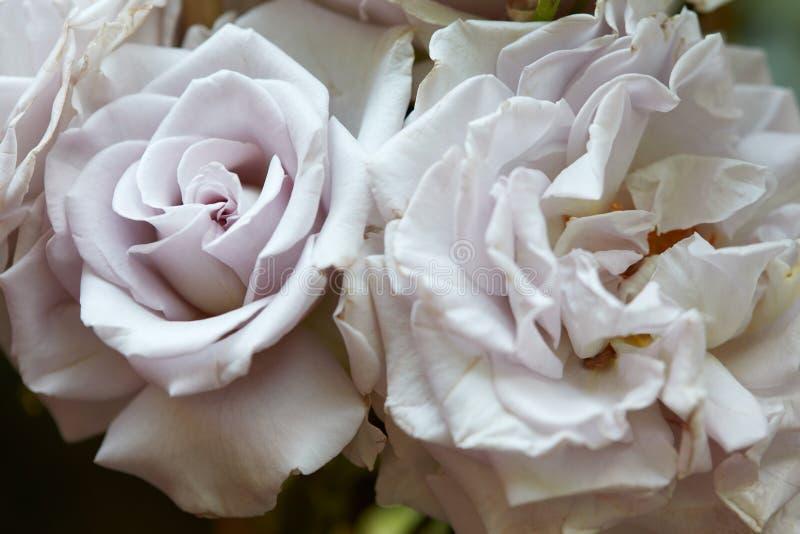 Forntida makro för vita rosor i trädgården arkivfoto