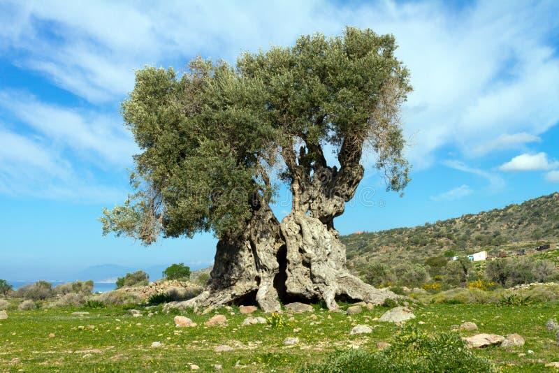 Forntida olivträd royaltyfri bild