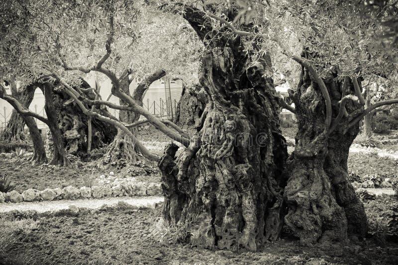Forntida olivträd i trädgården av Getsemane royaltyfri foto