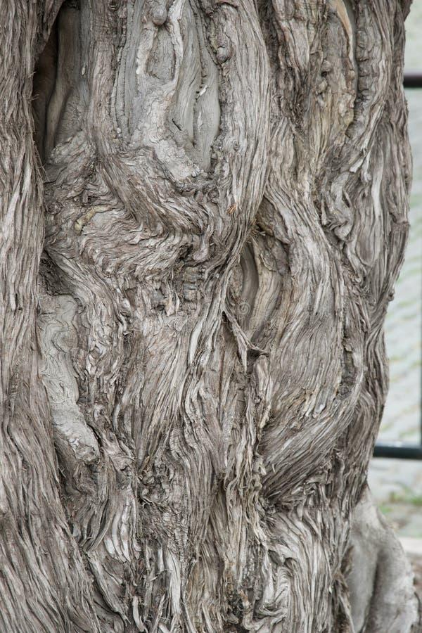 Forntida skadat desaturated trädskäll -, grått royaltyfria foton