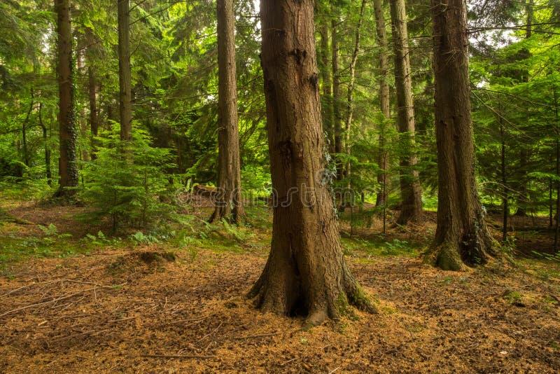 Forntida skogsbruk av abbotLeigh trän royaltyfri foto