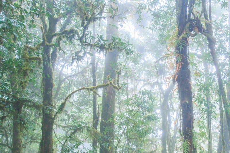Forntida tropisk skog i den nya epiphyten för mist, ormbunke, mossa, lav i de tropiska träden Doi Pha Hom Pok, Thailändsk-Myanmar arkivbilder
