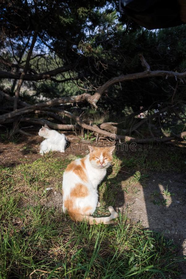 Wild homeless ragged cats walk in nature on the southern coast of the Crimea peninsula. Foros, Republic of Crimea - April 1, 2019: Wild homeless ragged cats walk royalty free stock photo