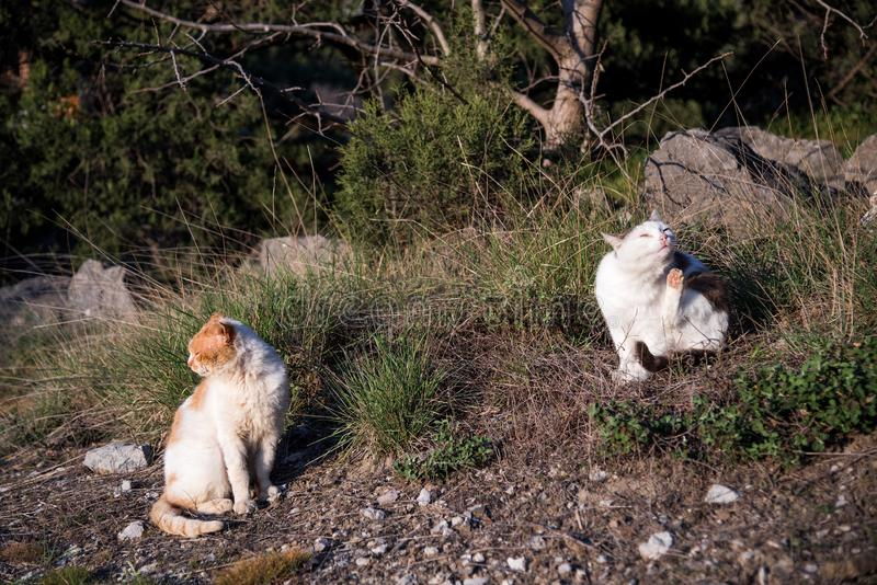 Wild homeless ragged cats walk in nature on the southern coast of the Crimea peninsula. Foros, Republic of Crimea - April 1, 2019: Wild homeless ragged cats walk stock photo