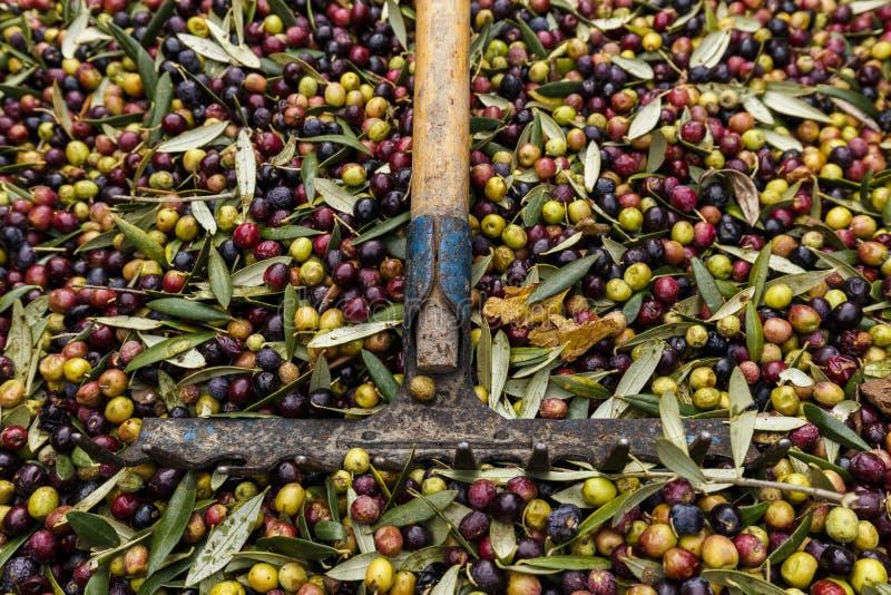 Forquilha sobre as azeitonas colhidas durante a colheita da esta??o para fazer o azeite, pronto para ser levado ao moinho, Priora fotos de stock royalty free