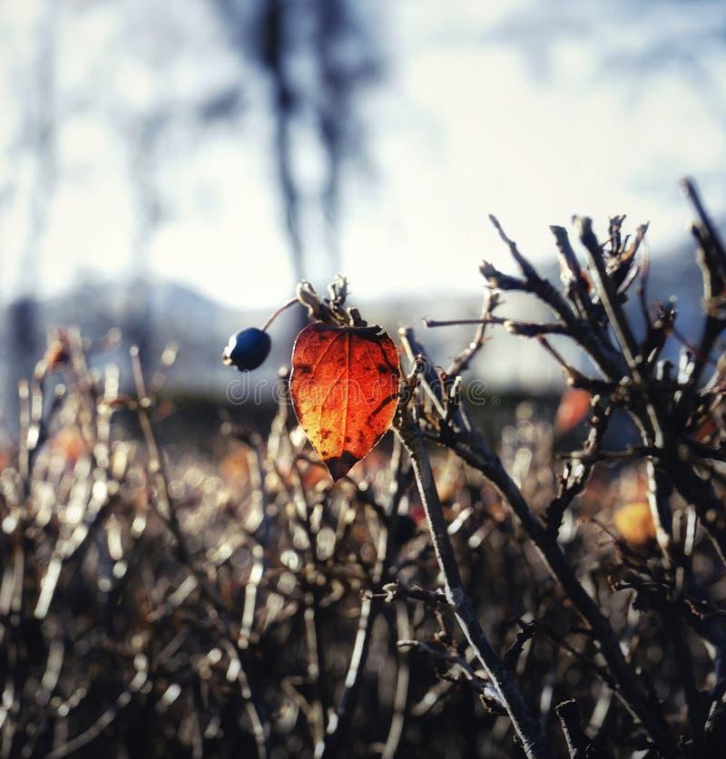 forra la baya roja de la hoja que ramifica la naturaleza del otoño al aire libre jardín del árbol de la luz del sol imagenes de archivo
