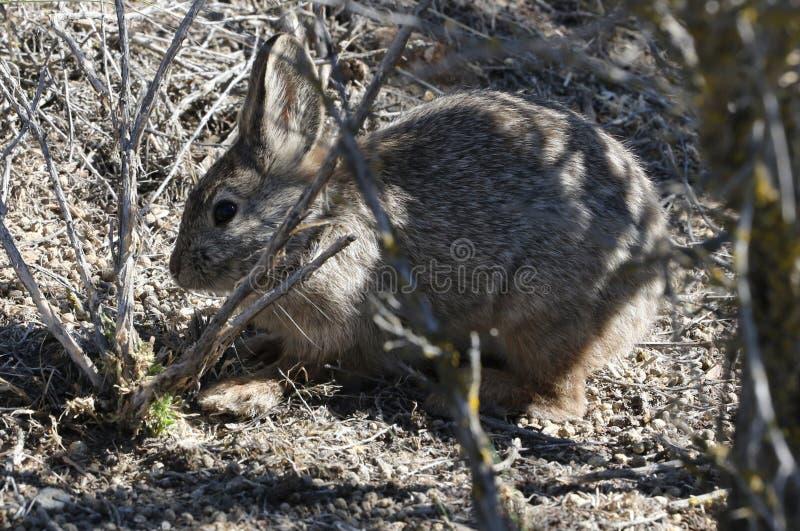 Forragem do coelho do pigmeu da bacia de Colômbia foto de stock