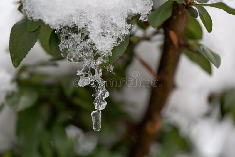 Forre el brunch con las pequeñas hojas verdes mojadas cubiertas con hielo y carámbanos colgantes en espacio abstracto soleado bor fotografía de archivo