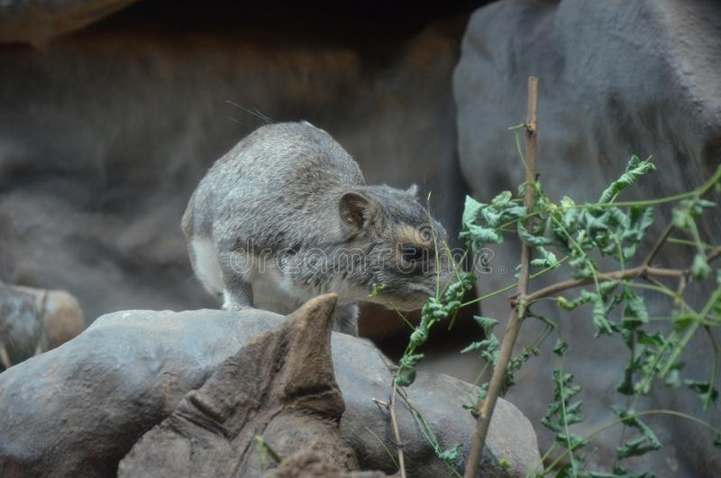 Forre el hyrax o el dassie Amarillo-manchado de la roca, brucei de Heterohyrax fotos de archivo libres de regalías