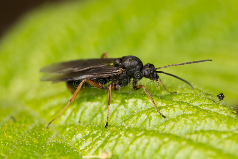 Forrest蚂蚁(胶木pratensis) 库存照片