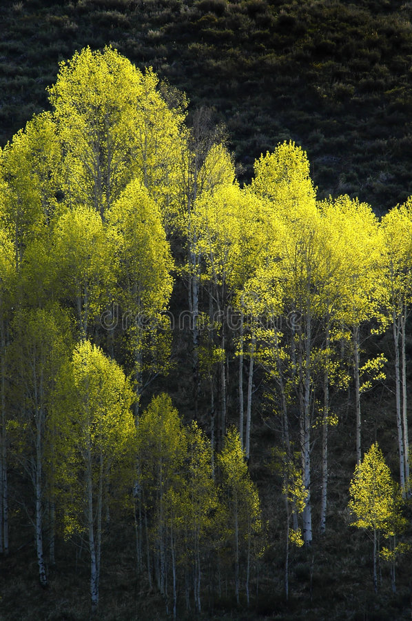 Forrest of Birch Trees royalty free stock photos