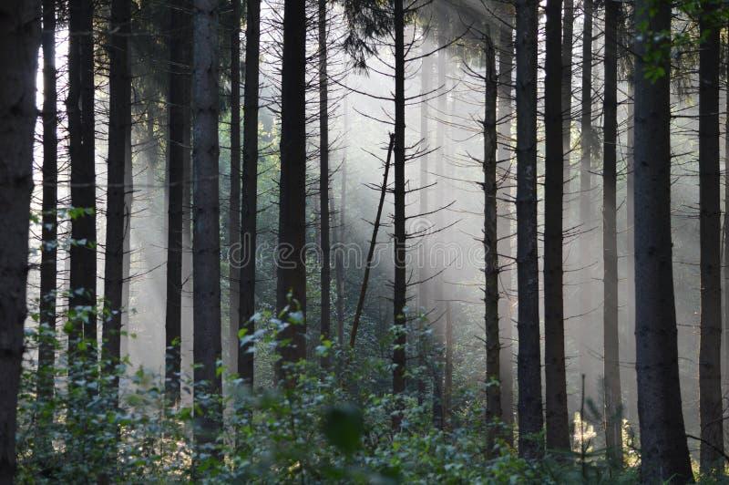 Forrest brumeux mystique pendant le début de la matinée photographie stock