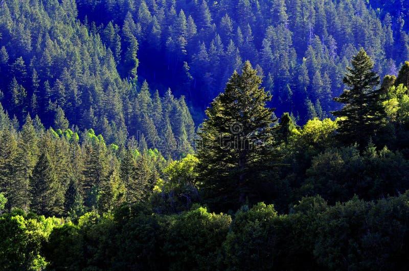 Forrest De Los árboles De Pino Fotografía de archivo