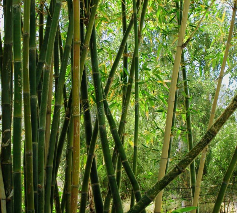 Forrest en bambou image stock