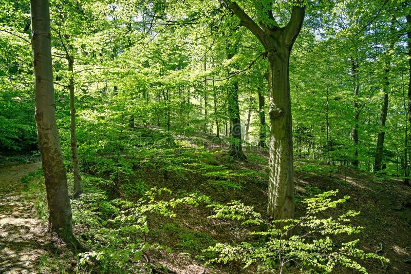 Forrest ensoleillé lumineux dans Harz, Allemagne la journée de printemps photo libre de droits