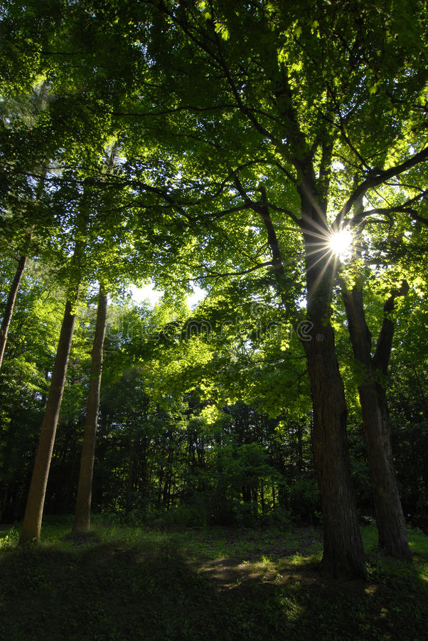 Forrest Of Maple Trees Stock Images