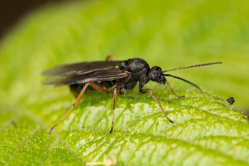 Forrest mrówka (Formica pratensis) zdjęcia stock