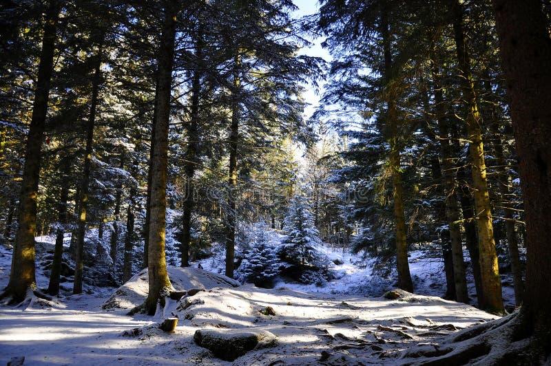 Forrest na montanha em Bergen, Noruega fotografia de stock