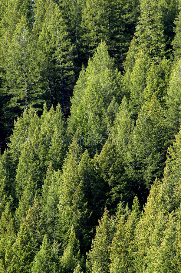 Free Forrest Of Pine Trees Royalty Free Stock Image - 2592796