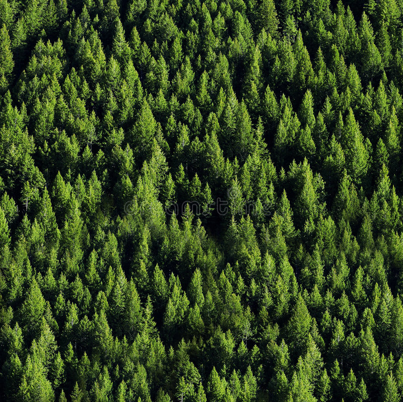 Free Forrest Of Pine Trees Stock Photo - 3927760