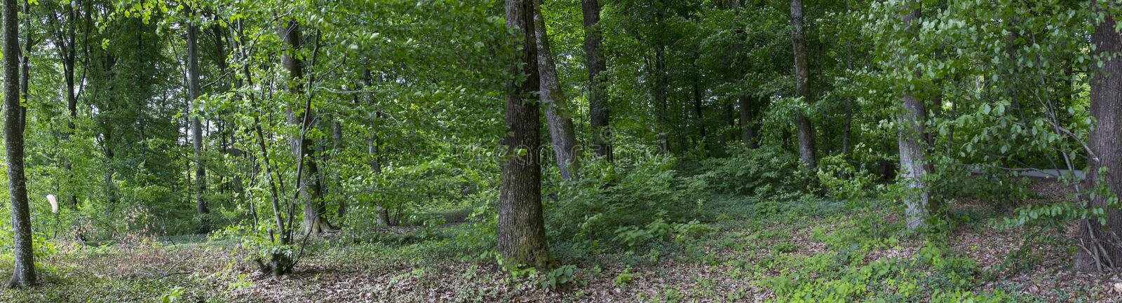 Forrest panorama royalty free stock photography