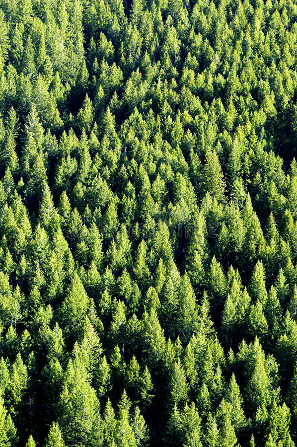 Download Forrest of Pine Trees stock image. Image of mountainside - 11136479