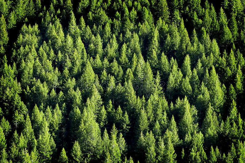 Download Forrest Of Pine Trees Stock Image - Image: 8784351