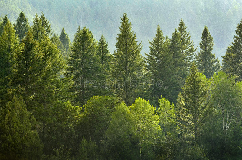 Forrest of Pine Trees in Rain. Forrest of green pine trees on mountainside with rain stock photo