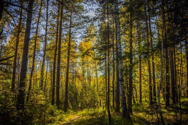 Forrest preto em Rússia A noite alaranjada Sun brilha com imagens de stock
