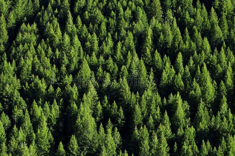 Forrest van de Bomen van de Pijnboom royalty-vrije stock fotografie