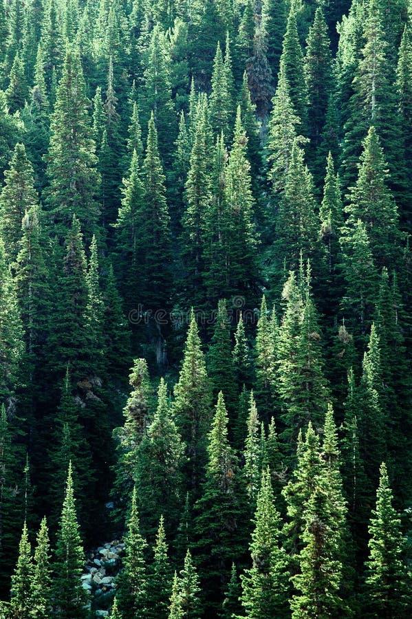 Forrest van de Bomen van de Pijnboom stock fotografie