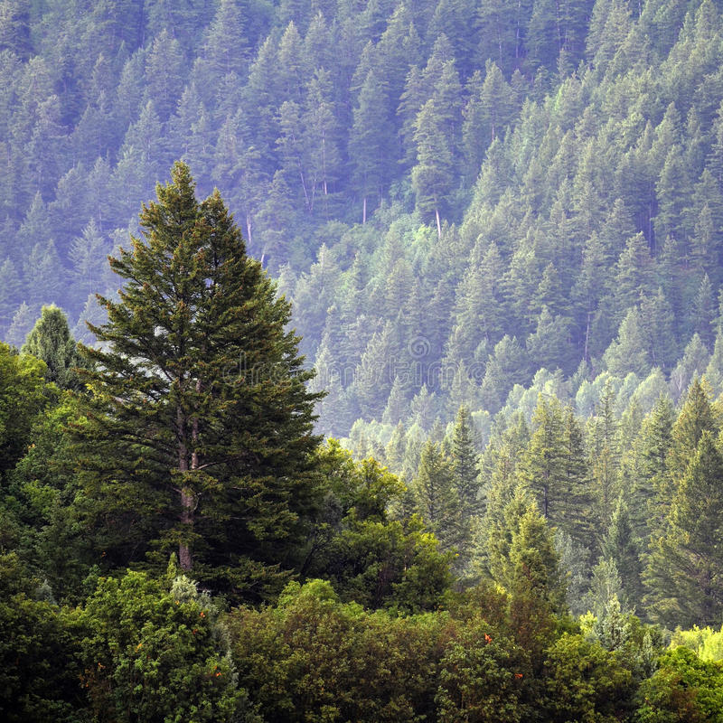 Forrest van de Bomen van de Pijnboom royalty-vrije stock afbeelding