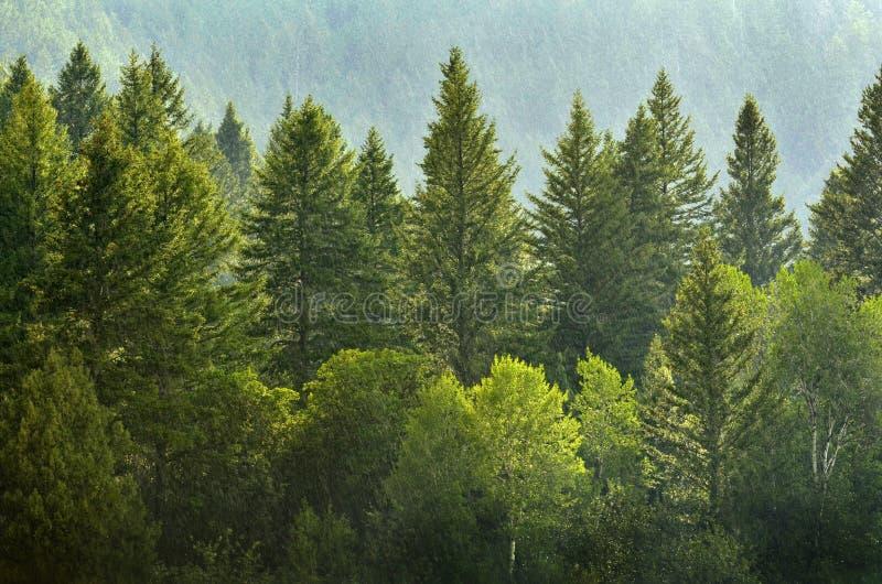 Forrest von Kiefern im Regen stockfoto