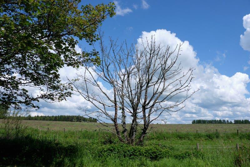 Forrest Walks escocés en verano y un solo árbol muerto que mira sobre tierras de cultivo de Ayrshire foto de archivo libre de regalías